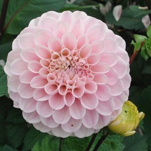 dahlia-wizard-of-oz-31415-1