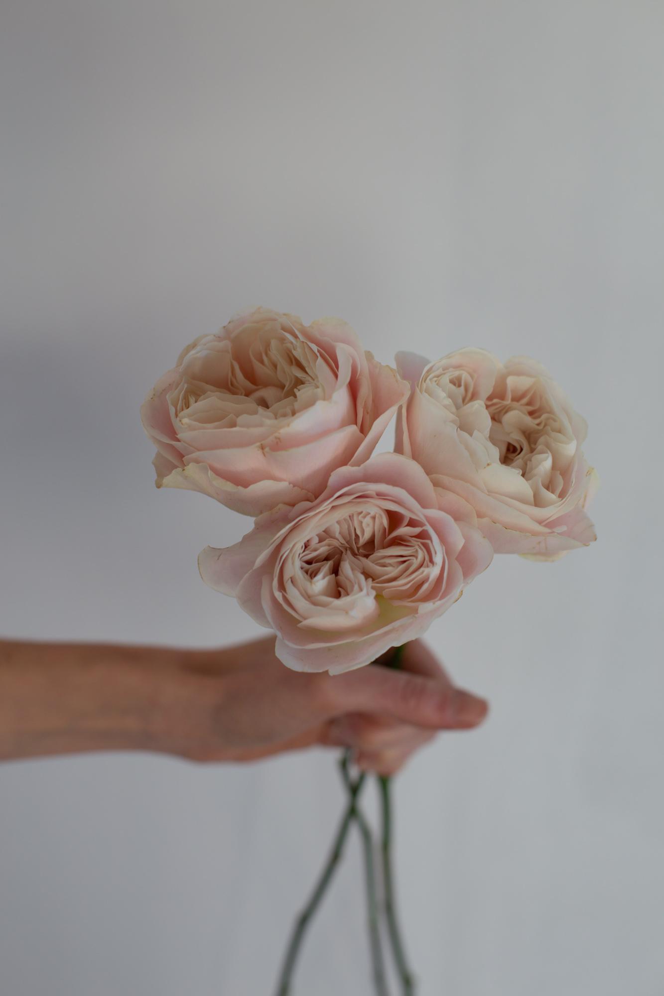 Rose de jardin